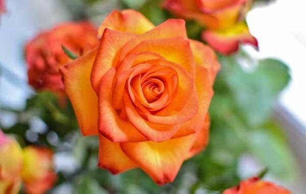 10月の誕生花はバラ、コスモス、ガーベラ花言葉に気を付けなければいけないのは?