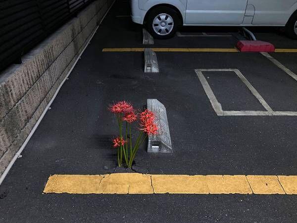 「すごい」「ちょっと怖いかも」 駐車場で見つけた驚きの『ド根性植物』とは