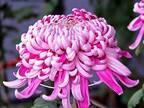 11月の誕生花は菊やガーベラなど4種類! それぞれの花言葉や贈らない方がいい花は?