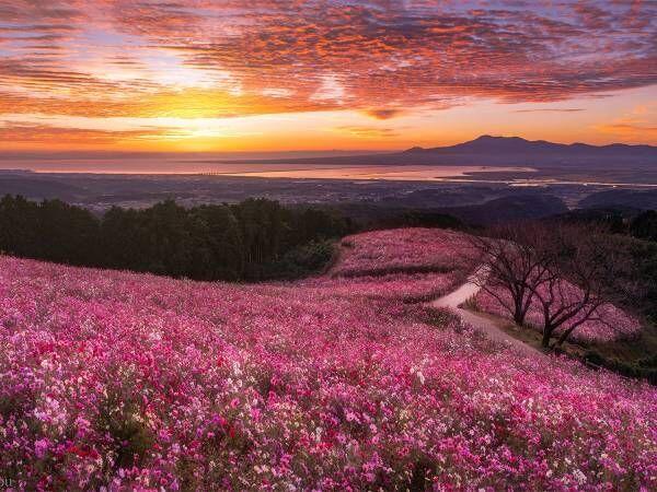 「なんて美しい」 朝焼けに照らされる『秋桜』 幻想的な1枚に、心奪われる