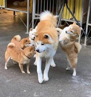 愛が強すぎる! 豆柴から毎日絡まれる秋田犬、人気すぎるあまりに…?