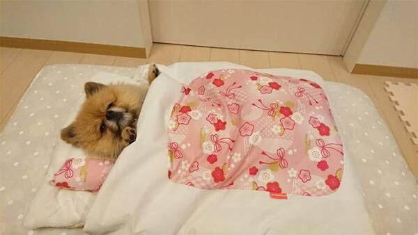 猫用のふとんにポメラニアンを入れると? 「なんて寝姿」「癒された」