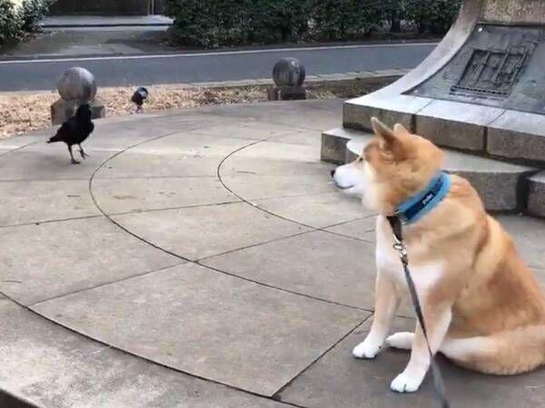 散歩中の『柴犬』に寄って来たカラス、すると次の瞬間?