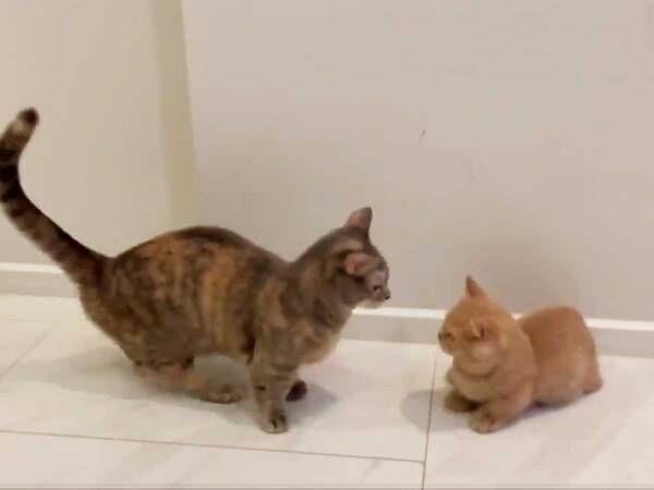 先輩猫に驚かされた子猫 その『倒れ方』にツッコミの嵐