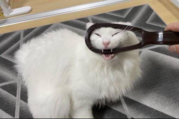 全4枚の写真に吹き出す 『ブラシ断固拒否』な猫の表情が…