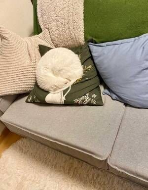 白猫の『寝姿』に驚き! 「きれいすぎる」「どうなってるの!?」
