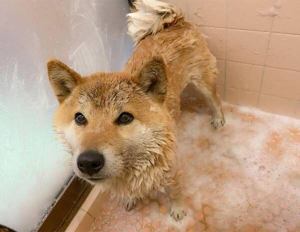 ニコニコ顔の柴犬 お風呂に入れられた途端? 「笑った」「分かりやすい」