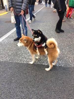 散歩中にひと休みする柴犬 その場所が…?