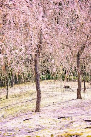 桃源郷は実在した 梅が咲き誇る『京都城南宮』が想像以上の美しさ