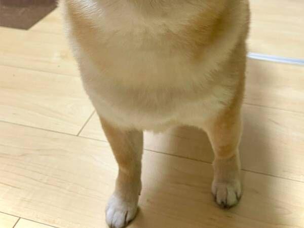 すれ違った人から『謎の賛辞』を受けた柴犬 その姿をご覧ください