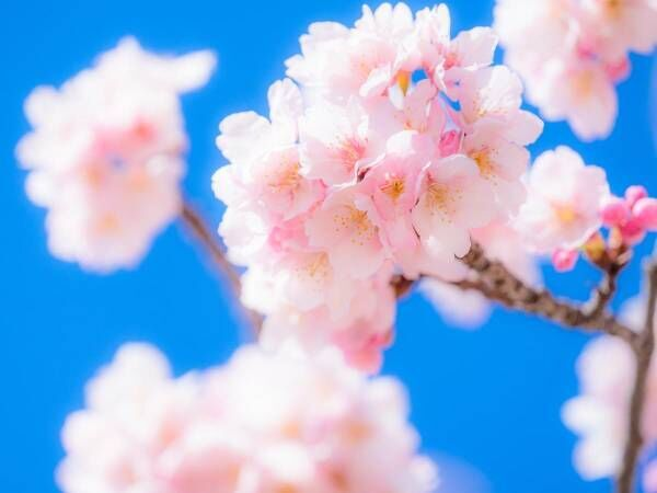 桜花爛漫の季節 何故、桜はこんなに人の心をとらえるのか