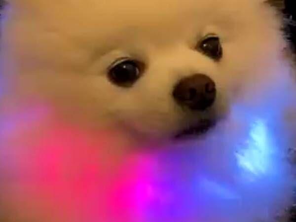 新しい首輪を試着した愛犬、すると…? 9秒の動画に8万超の『いいね』が寄せられる