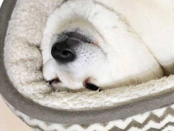 「めっちゃ笑った」「キツそう!」 独特な姿で眠る柴犬に吹き出す!