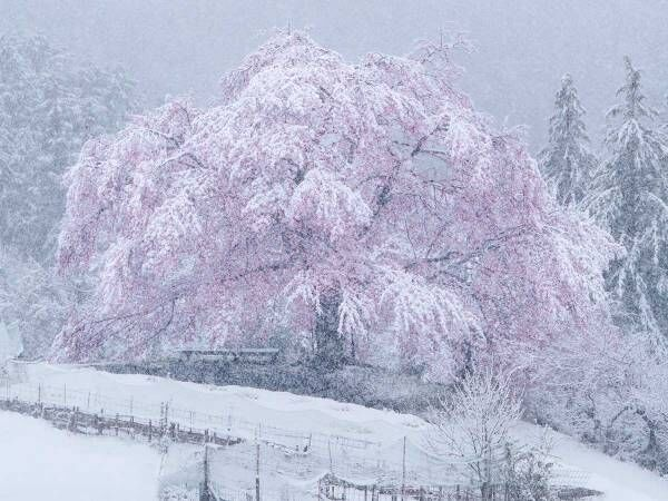 満開の桜と雪 めったに見られない『3枚』がこちら