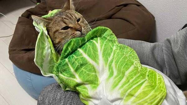 「想像の1億倍かわいかった」 子猫を白菜で包んでみると?