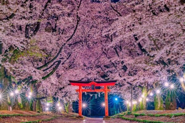 茨城の『本気』を見よ 夜桜が美しい4枚の写真に、時を忘れる