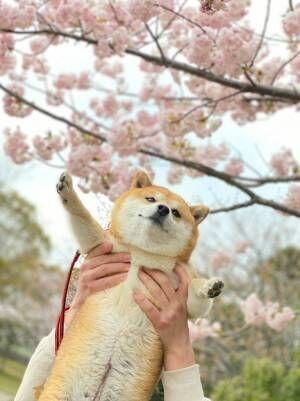 柴犬と桜の写真に、心を射抜かれる人続出 「これは優勝」「ぬいぐるみみたい」