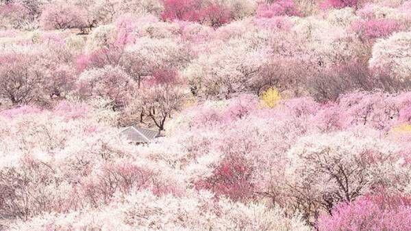 「桃色の宝石箱」「ここは天国か」 この世のものとは思えない絶景に、心奪われる
