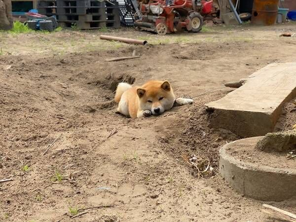 仕事前に足止めを食らった柴犬の行動とは 「かわいすぎる」「癒された」の声