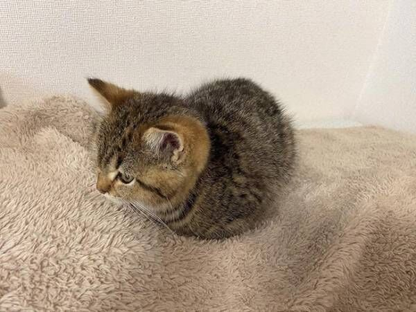 子猫の『座り方』に飼い主困惑 「ツチノコかな?」「かわいすぎ」