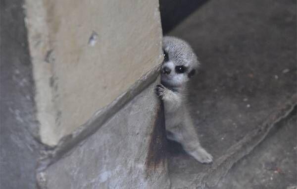 柱からチラリ… 赤ちゃんミーアキャットを写した4枚に、悶絶 「たまらん」「か、可愛すぎる」