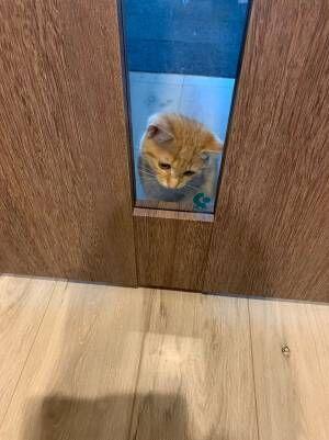子猫「開けてー!」 ドアの前で必死に訴える姿に、胸キュン不可避