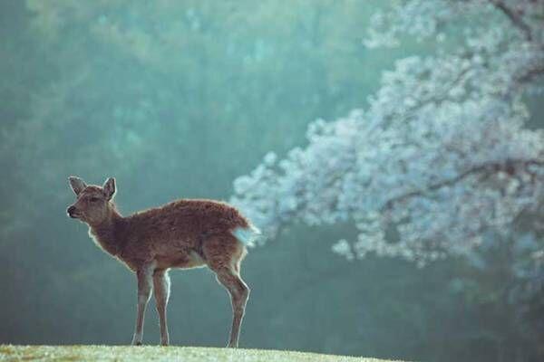 桜とシカの美しい写真のはずが? 吹き出す人が続出した理由がこちら
