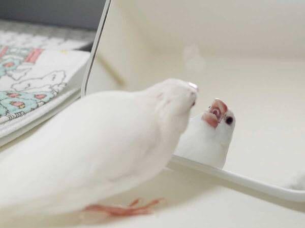 鏡と向かい合う文鳥さん 何をしているのかというと…?