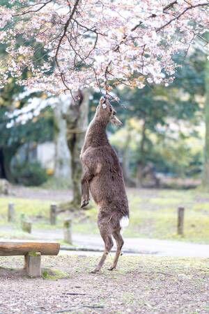 桜に顔を近付けるシカが次の瞬間…? 「素敵な写真」「かわいい」の声