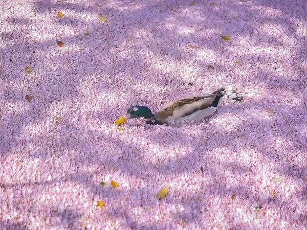 全身に桜をつけて大量の花筏をかき分けるカモの写真に反響 【全4枚】