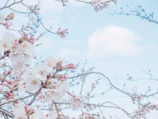 かわいい!月もお花見する『ふわふわの春』