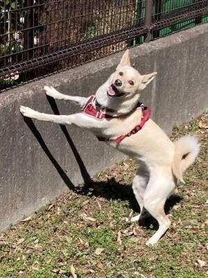犬が遊びすぎた結果…? 楽しさにじみ出る表情に、飼い主「妖怪みたい」