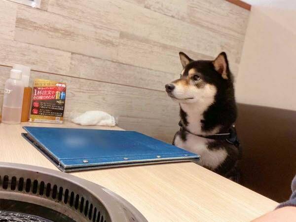 柴犬を『犬OKの焼肉店』に連れて行くと? 反応に、笑いがこみ上げる