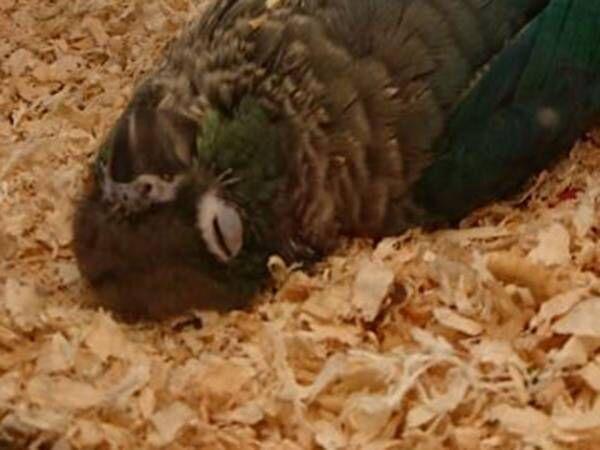 「もっと鳥らしく寝てくれ」 ウロコインコの寝相が心臓に悪い!