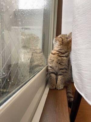 「かわいすぎてニヤけた」「優しい世界」 雨を観察する子猫が話題に!