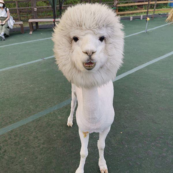 アルパカの『毛刈り後』がこちらです 写真に「ギャップに笑った」「癖になる」