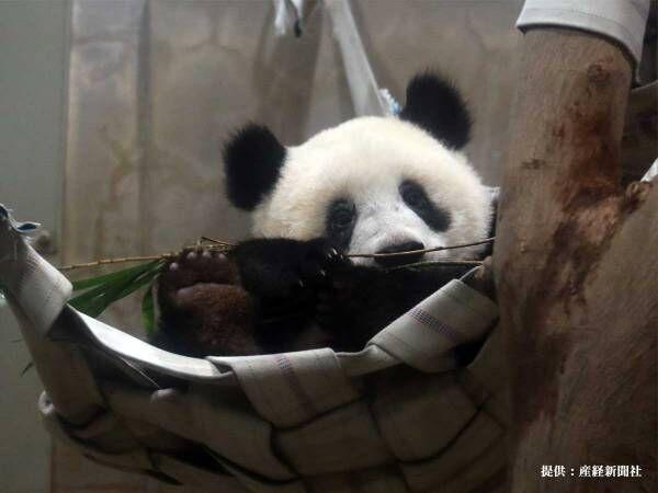 自宅でシャンシャンの成長が見られる! 上野動物園のTwitterに、感激の声