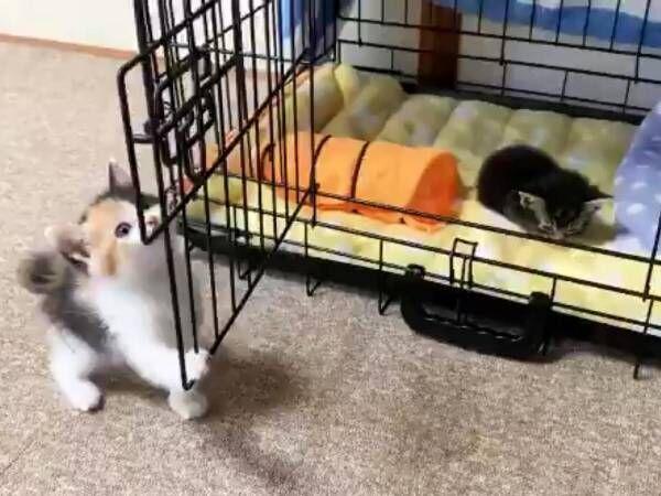 ケージから出ない子猫を見て、もう1匹が…? 動画に「すごっ!」「すべてが最高」