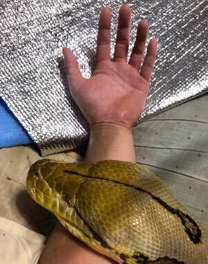 「枕かと思った」「迫力ヤバい」 親指くらいの太さだったヘビが10年後…?