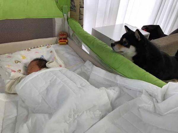 「見事な4コマ」 赤ちゃんが気になる豆柴、様子を見ようと近付くと…?