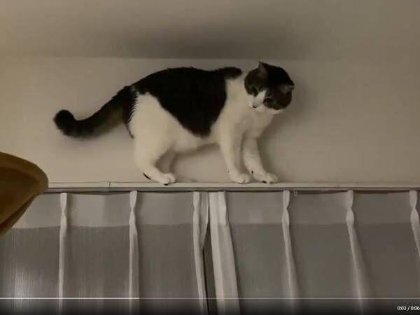 カーテンレールの上に登った猫 降りれなくて鳴くのかと思いきや? 「まさかの行動」