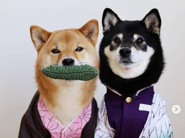柴犬たちの世界にも『鬼滅』が!アレを取り合う姿が可愛すぎ