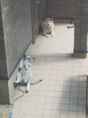 道で保護した1匹の犬 先住犬も困惑するほどリラックスした姿とは