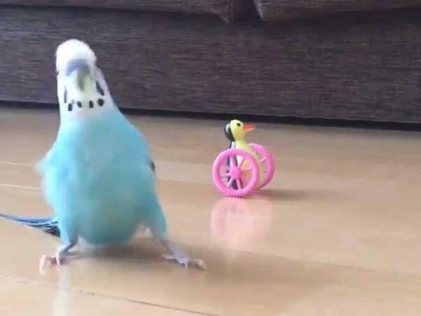 インコが床に降りた1秒動画が? 「ずっと見ていられる」「吹いた」