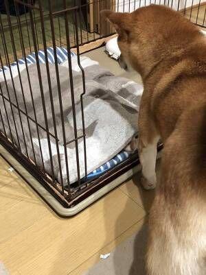 自分のケージの前で立ち尽くす柴犬 その理由に心が温まる!