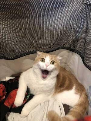 「お茶吹いた」「腹筋崩壊」 洗濯カゴに入っているのがばれた猫の反応がこちら