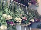 「7千本の花が行き場を失いました」 イベント中止を受け、バラ園が起こした行動が?
