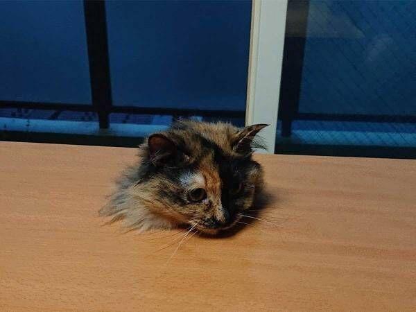 妻の「このテーブル欲しい」に応えた夫 対する猫の反応に11万『いいね』!