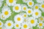 花びらで占う!あなたの恋の行方