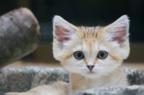 胸きゅん必至♡かわいすぎて悶える世界で一番小さい野生の猫